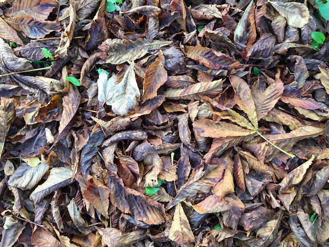 Horse-chestnut leaf-fall.  Hayes, 4 November 2015.