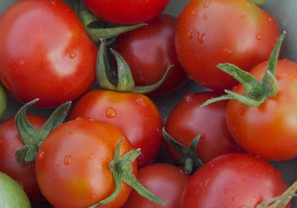 Gardener's Delight-tomater i närbild