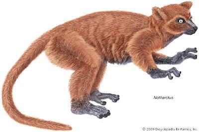 primates Notharctidae Notharctus