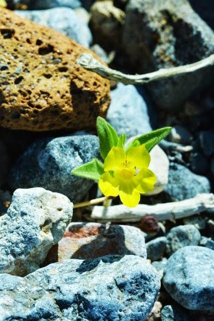 Lesser Mohavea Mohavea breviflora_1571
