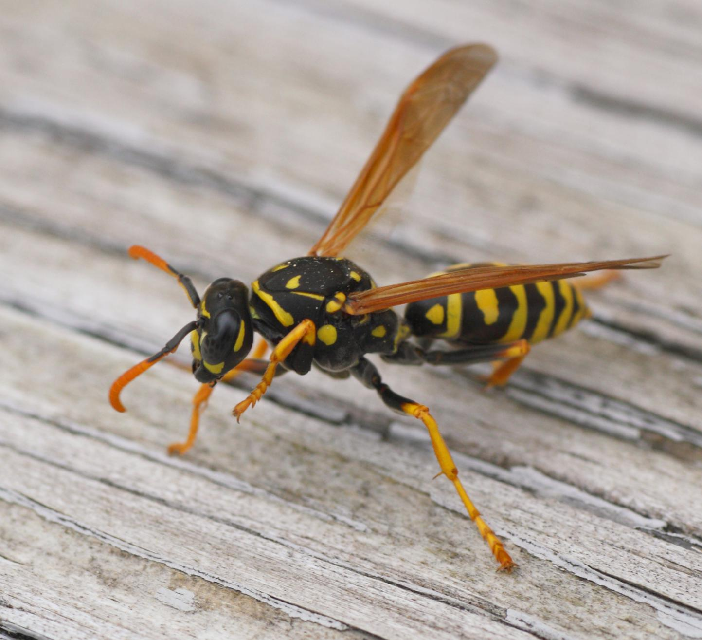 black bees sting