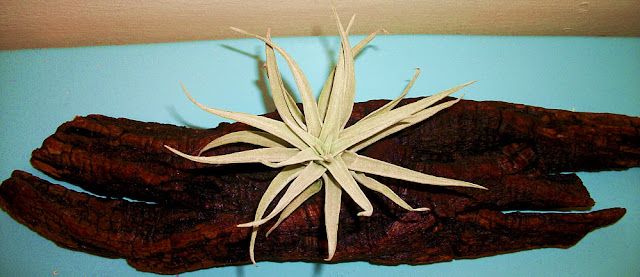 Harrisii Tillandsia Air Plant