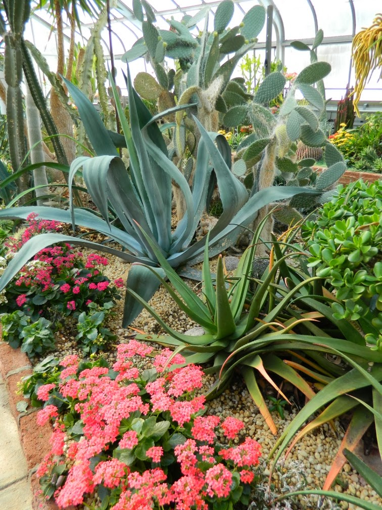 Centennial Park Conservatory agave pink kalanchoe desert garden by garden muses-not another Toronto gardening blog