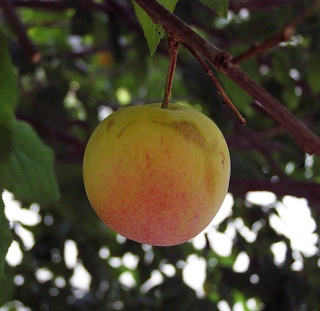 Apricot Ripening on Tree