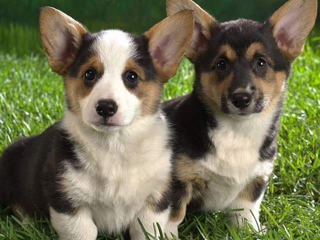 dog breeds, cute dog pictures, dog breed pictures