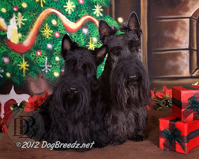 Grace and Merlin, the Scottish Terriers, pose for their annual Holiday tradition:  the family Christmas photo