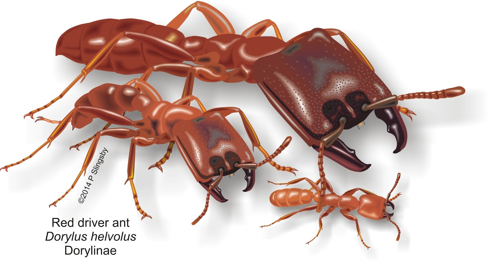 Ants of Southern Africa -: Ant Catalog