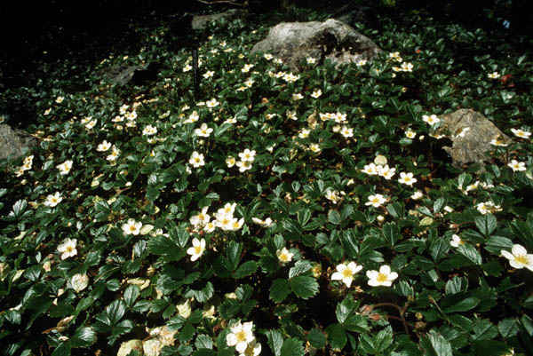 The Plant Library Scientific Name Fragaria