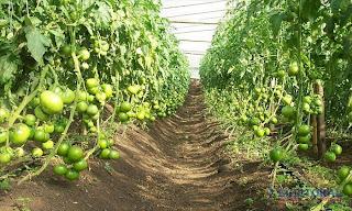 Asociacion ecologista rio mocoreta tomates y morrones sin for Asociacion de cultivos tomate