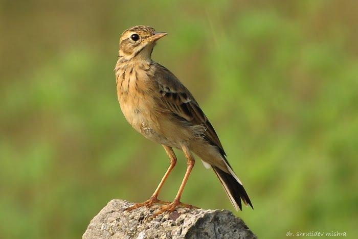 Indian Birds Photography: [BirdPhotoIndia] Paddyfield ...