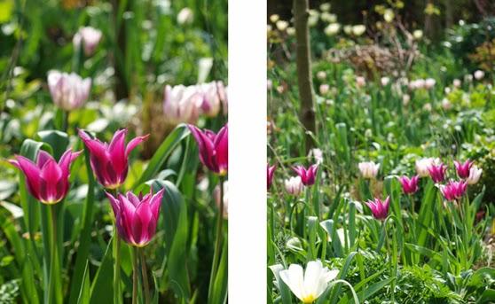 Smukke tulipanbede i lyse og mørke toner. Stribede blomster