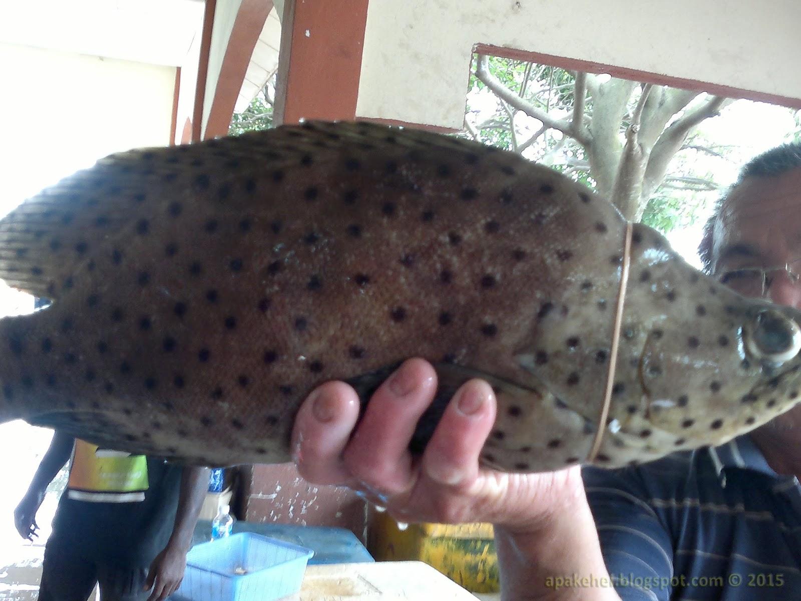 Ikan Kerapu Tikus