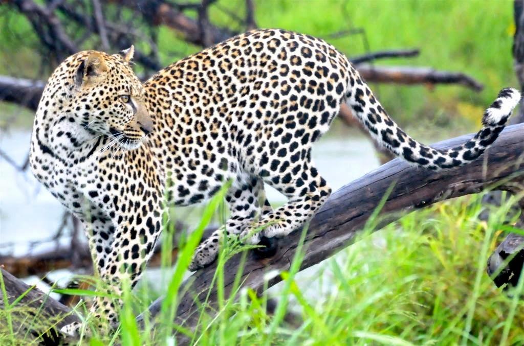 luipaard, Tanzania, Afrika, Oost-Afrika, wildlife, dierenrijk, wilde dieren in Tanzania,