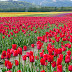 Tulips Garden images wallpapers