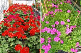 Introduccion plantas ornamentales for Algunas plantas ornamentales