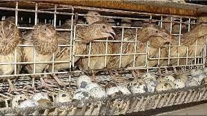 Cara Beternak Burung Puyuh