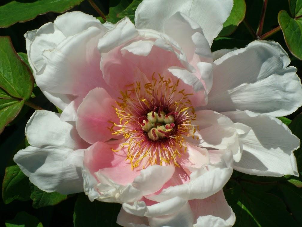 Paeonia ostii 'Feng Dan Bai' Phoenix white tree peony Toronto Botanical Garden by garden muses-not another Toronto gardening blog