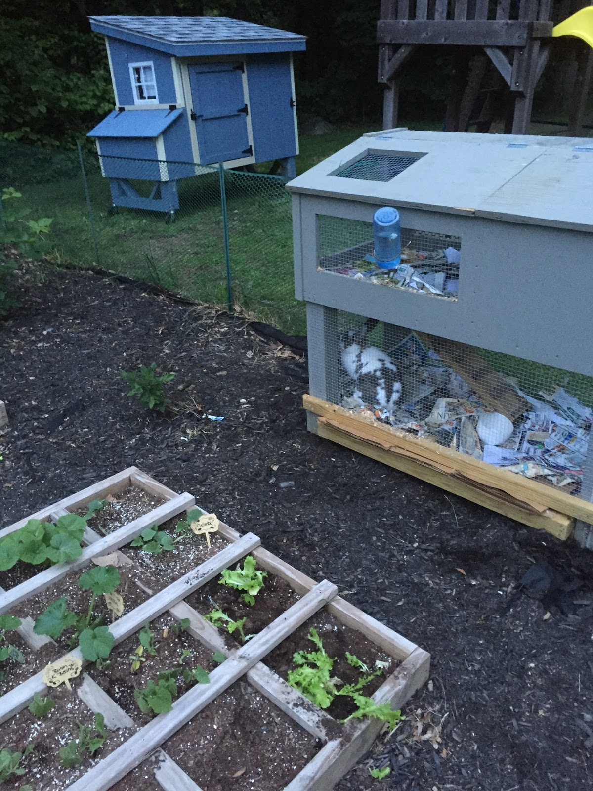 adventures in backyard homesteading raising chickens little