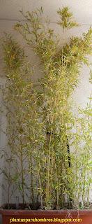 tipo de bambú Phyllostachys aurea