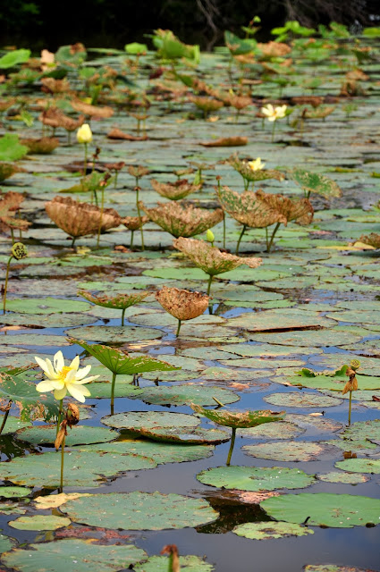Water Lillies Hickory Ridge Studio