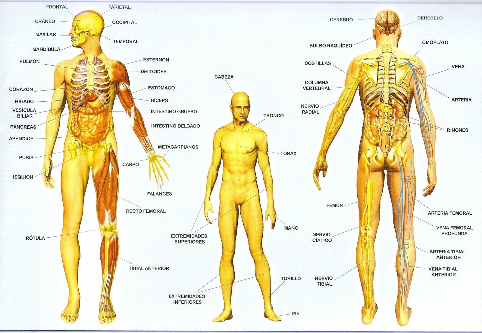 MI RESPUESTA: Sistemas del Cuerpo Humano