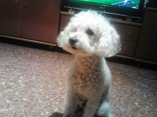 Este es Alan, el Caniche blanco que busca pareja en Elche (Alicante)