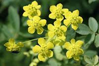 лекарственное растение володушка золотистая
