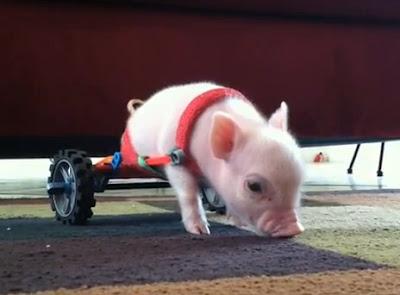 Porquinho deficiente aprende a andar com ajuda de engenhoca