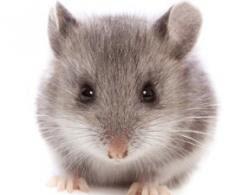 老鼠惻隱心