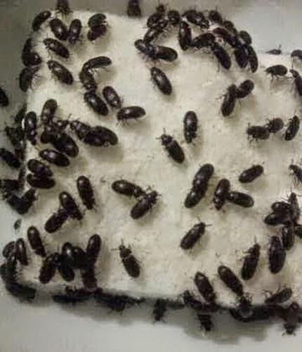 semut jepang sebagai obat diabet