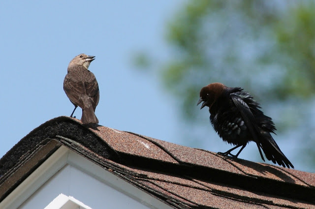 Brown-headed Cowbird Courtship
