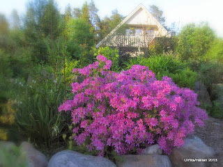 Vårazalea, Rhododendron canadense