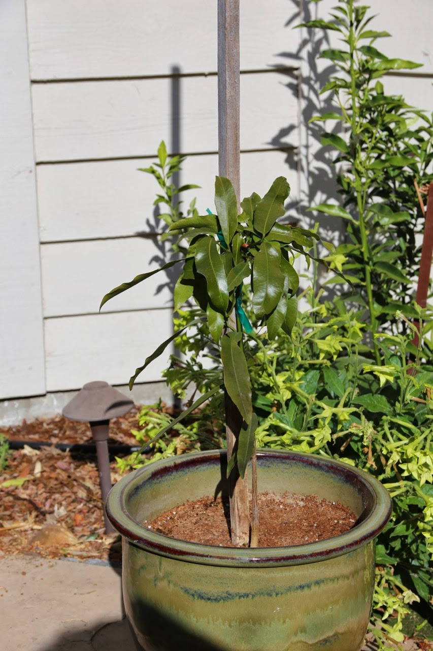 good year for the potted tropical fruit trees  Backyard Citrus (and