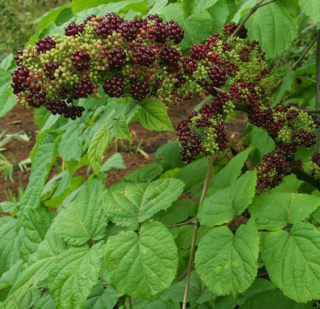 Benefits Of American Spikenard (Aralia Racemosa) For Health