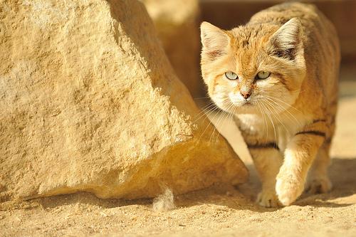 القط الرملي ~