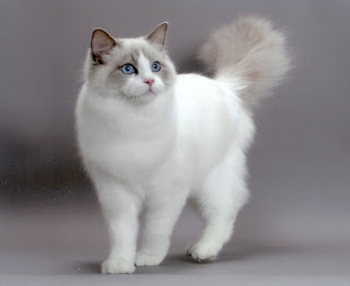 ragdoll cat kitten pussy mace macka kat kass katze gato con kissa pets Haustiere huisdieren animaux de compagnie kucni ljubimci augintiniai