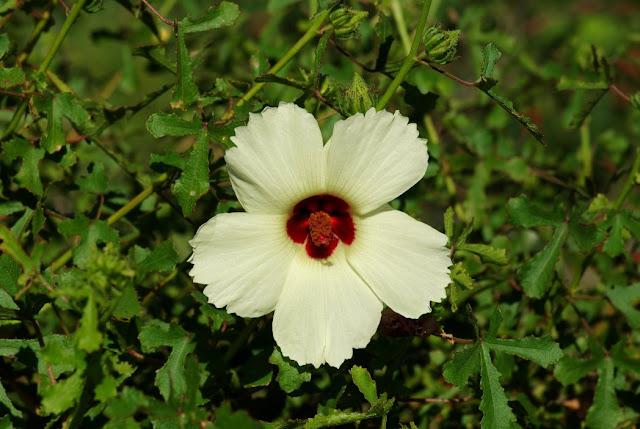 Hibiscus aculeatus, pineland hibiscus, comfortroot