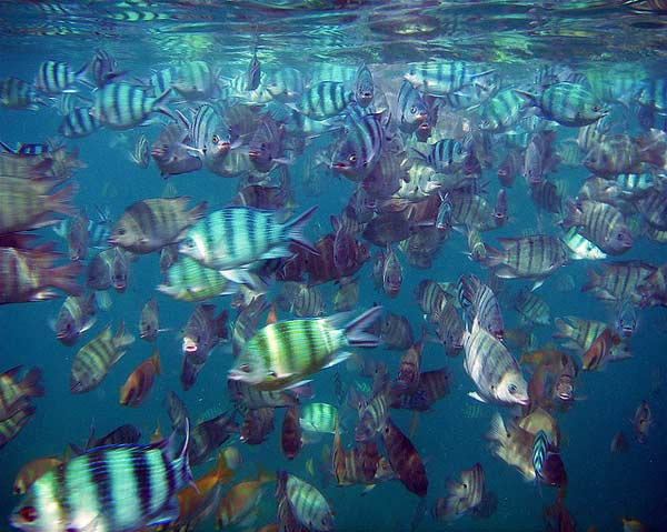 Kauai snorkeling did you know that there over over 20 000 for Fish species hawaii