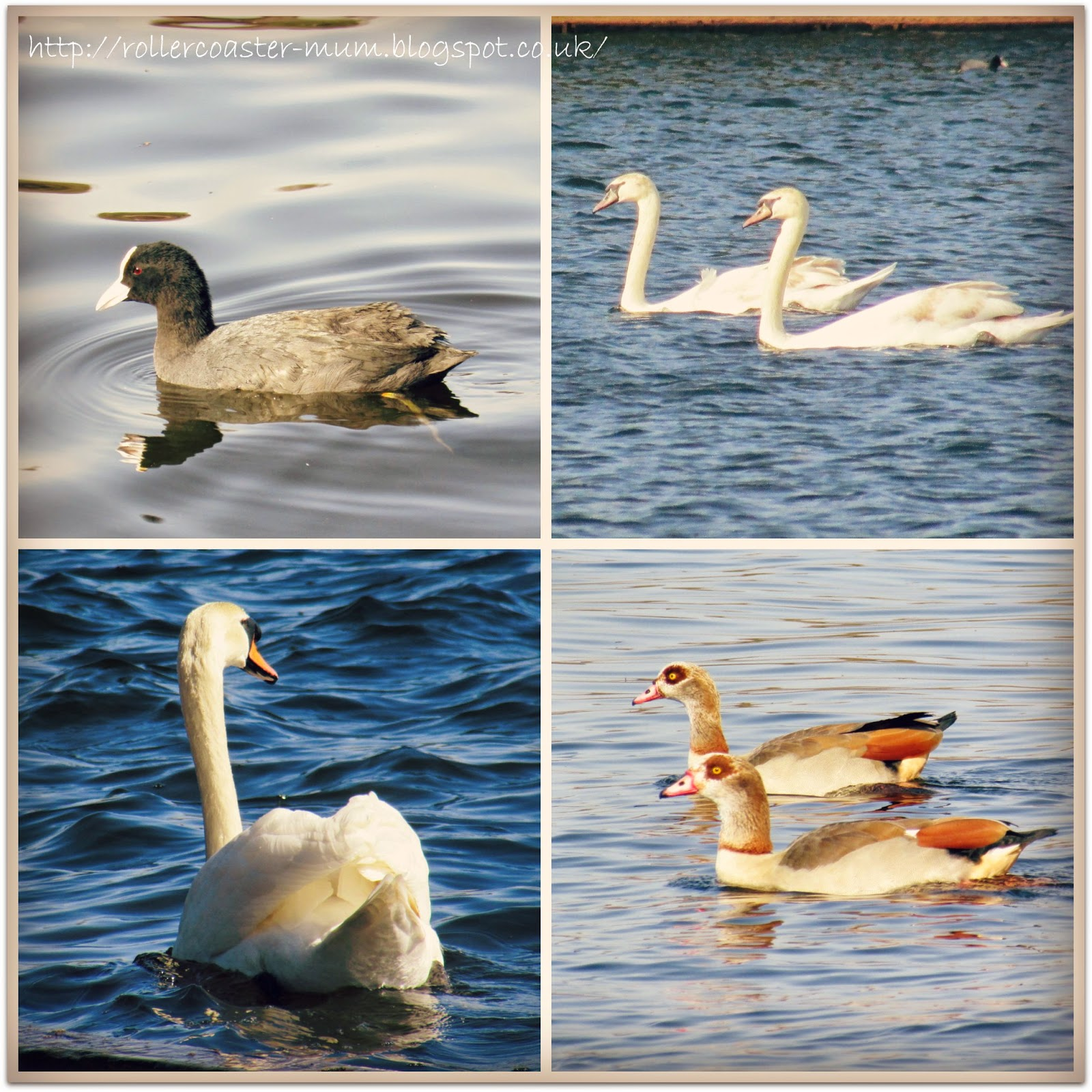 Birds on the water, Coot, Swans and Egyptian Geese