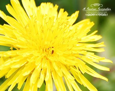 Dandelion West Virginia Nature Photography