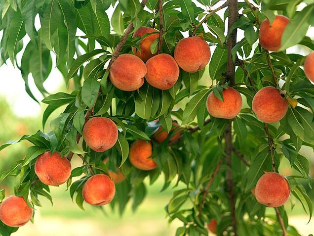 Садовод: Посадим персиковое дерево