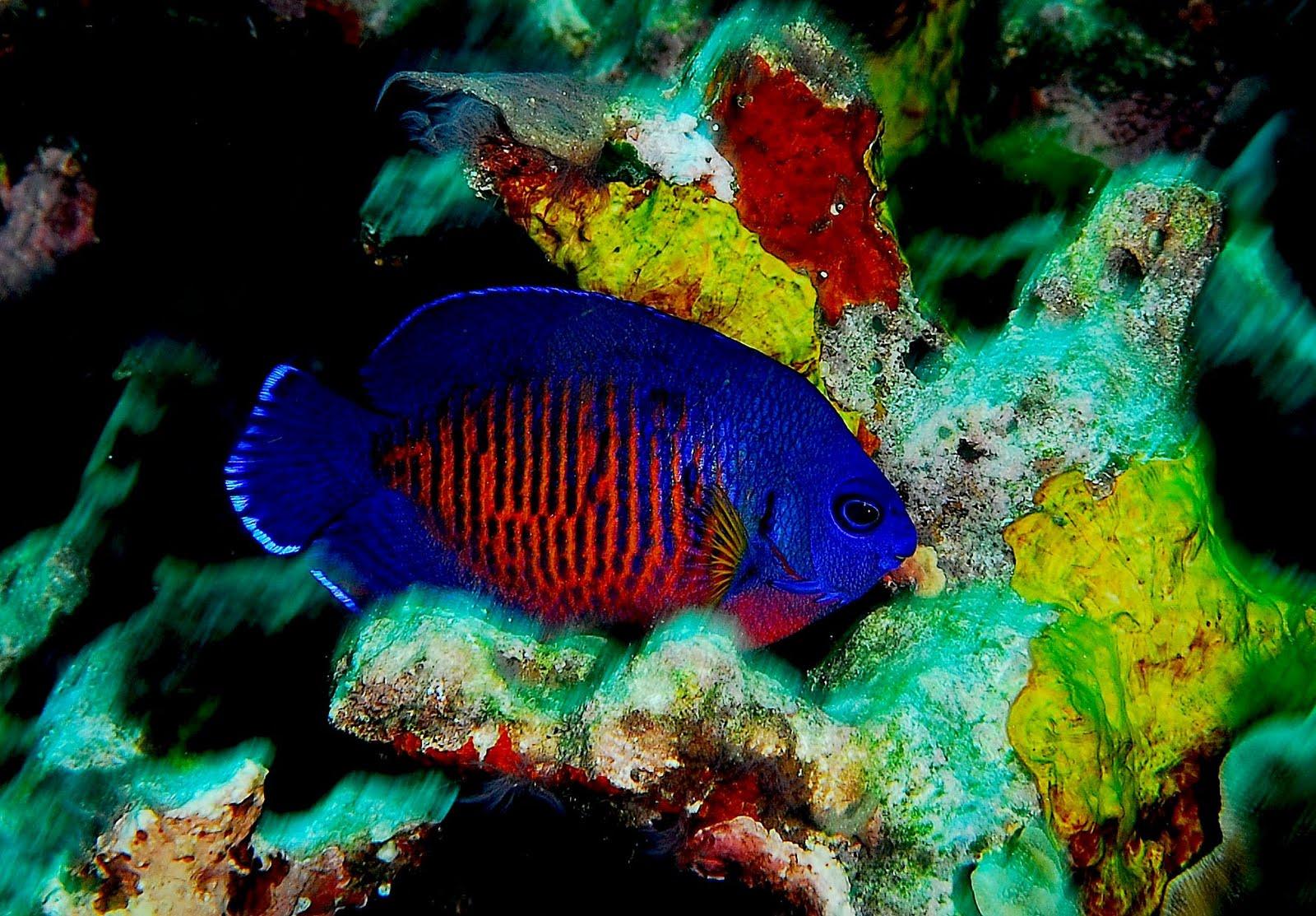 Marine Angelfish | Animal Unique