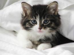 Gambar Anak kucing lagi selimutan