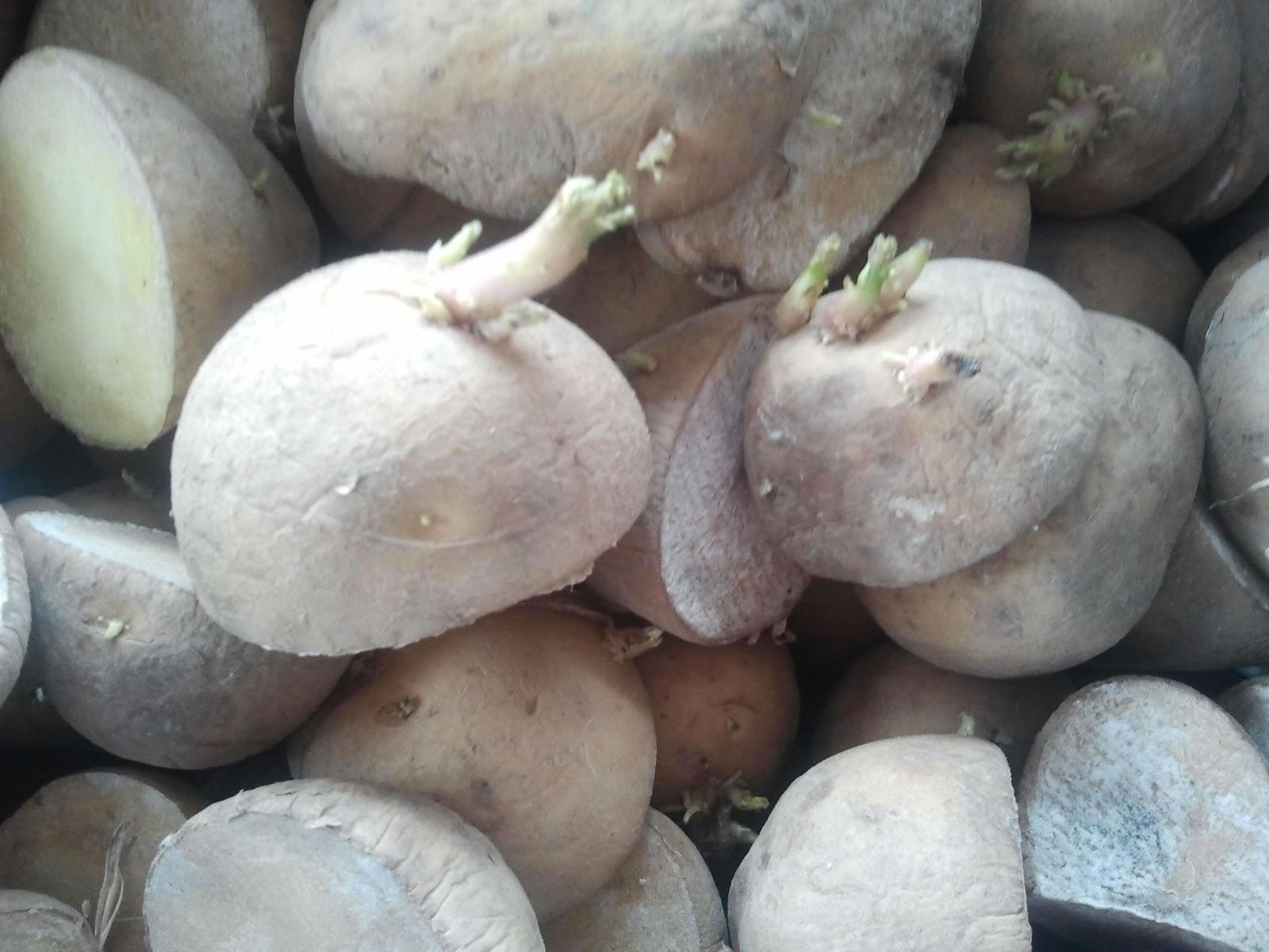 Fertibio como sembrar patatas for Como cultivar patatas