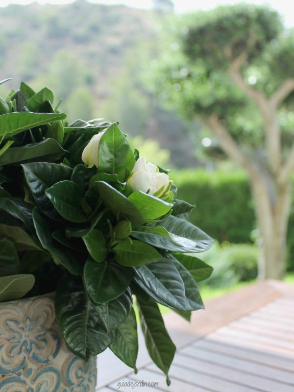 Gardenia en el jardín