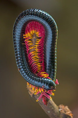 Multicolored millipede  blue and black body with pink and yellow legs