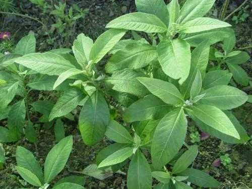 Khasiat dan Manfaat Daun Sembung Sebagai Obat herbal