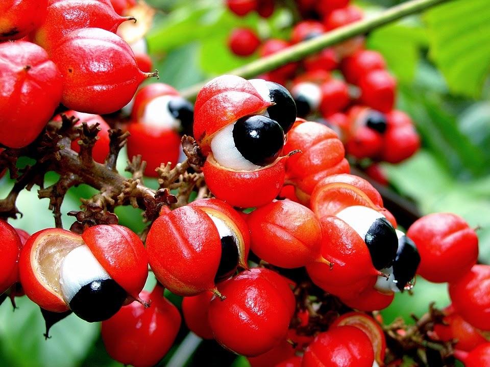 Buah Guarana atau Paullinia cupana @ Brazilian cocoa