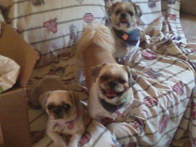 $1000 Reward to find my 2 Shih Tzu Dogs in Humble