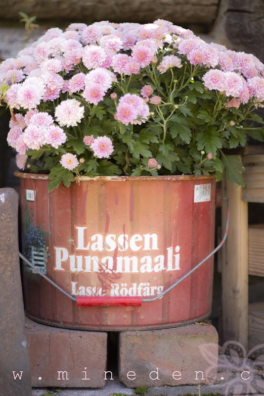 Krysantemum i min Lassen Punamaali bytta
